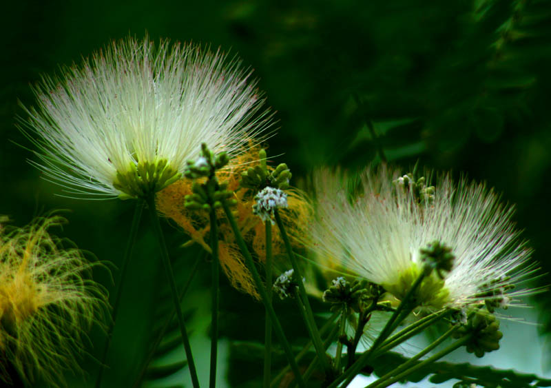 合欢花花团锦簇,象征永远相爱